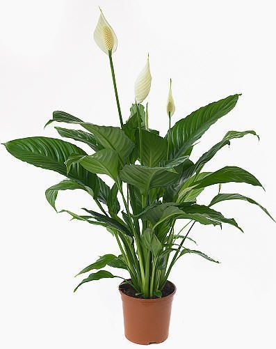 Spathiphyllum cupido plantes int rieures for Plantes d interieures