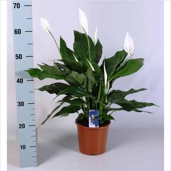 Spathiphyllum cupido plantes int rieures for Plantes interieures