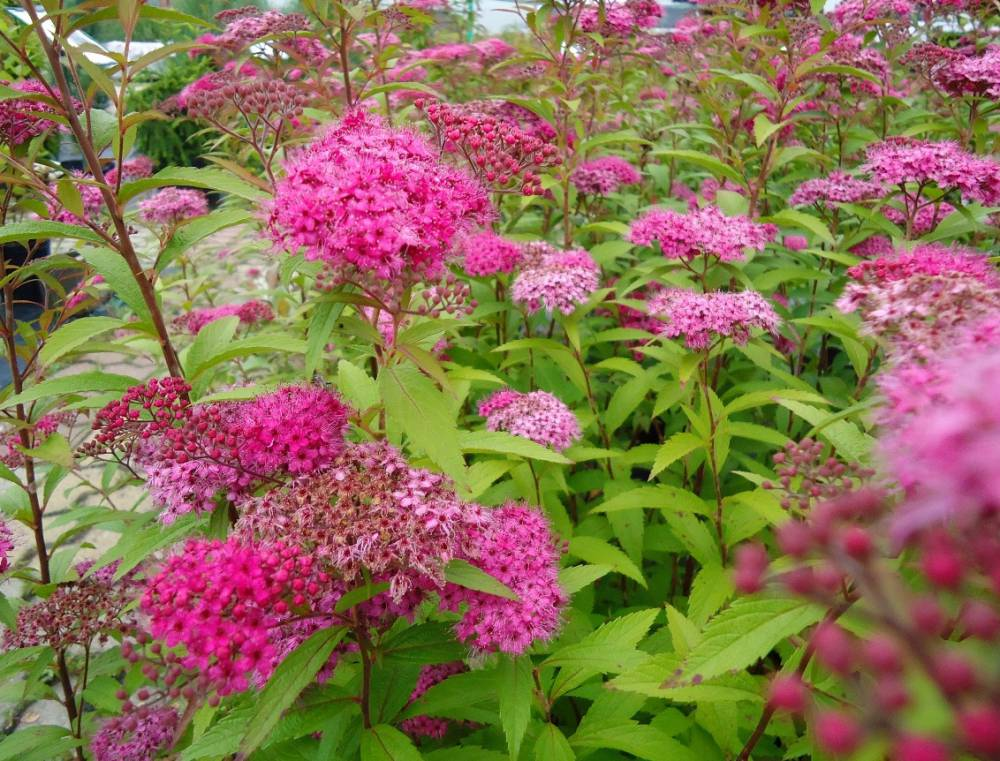 Spiraea Japonica Anthony Waterer Plantes Exterieures