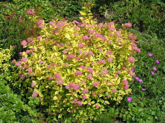 SPIRAEA japonica 'Golden Princess'
