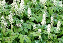 TIARELLA 'Jeepers Creepers'