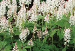 TIARELLA 'Skeleton Key'