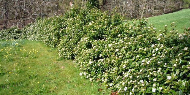 Viburnum tinus 39 eve price 39 plantes ext rieures for Laurier tin gwenllian