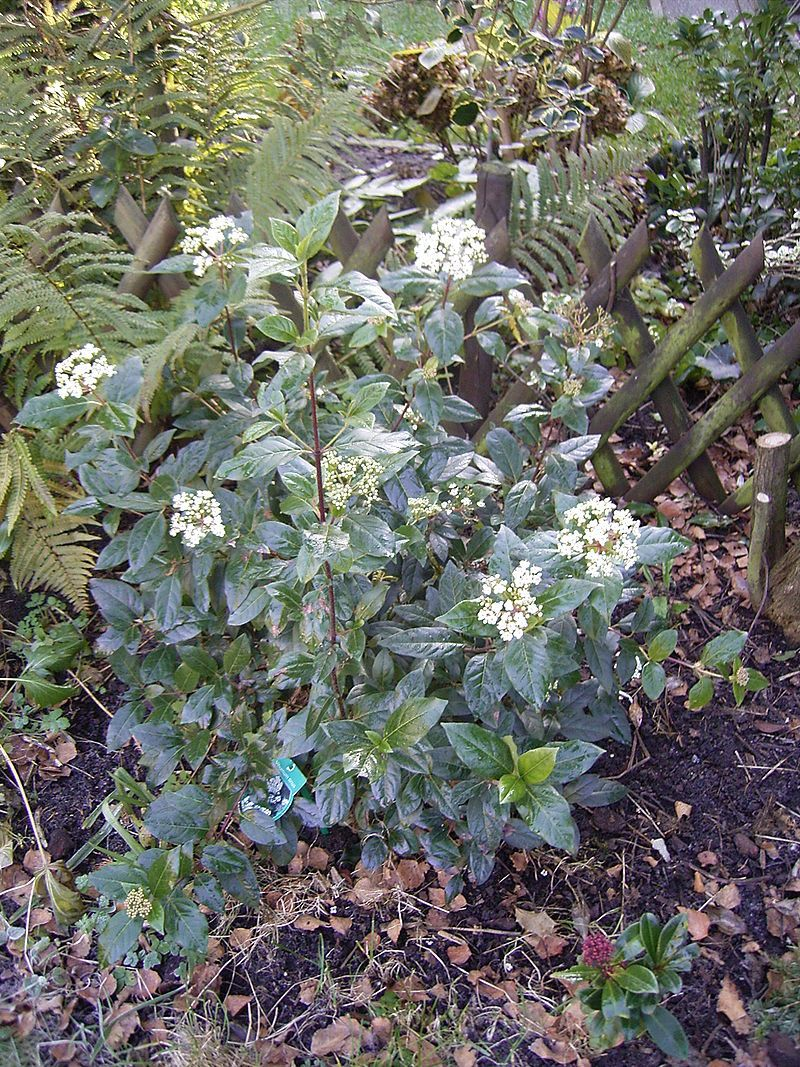 Viburnum tinus 39 gwenllian 39 plantes ext rieures for Laurier tin gwenllian