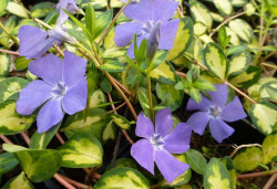 VINCA minor 'Illumination' ®