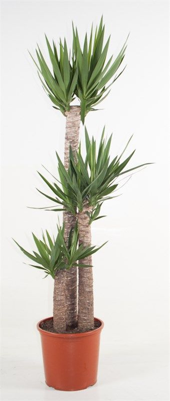yucca elephantipes 3 troncs grands yucca plantes int rieures. Black Bedroom Furniture Sets. Home Design Ideas