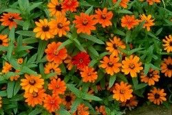 ZINNIA 'Profusion' orange (pot de 10.5 cm)