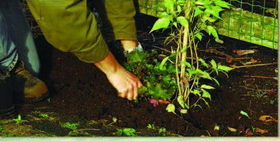 La plantation d'une plante grimpante