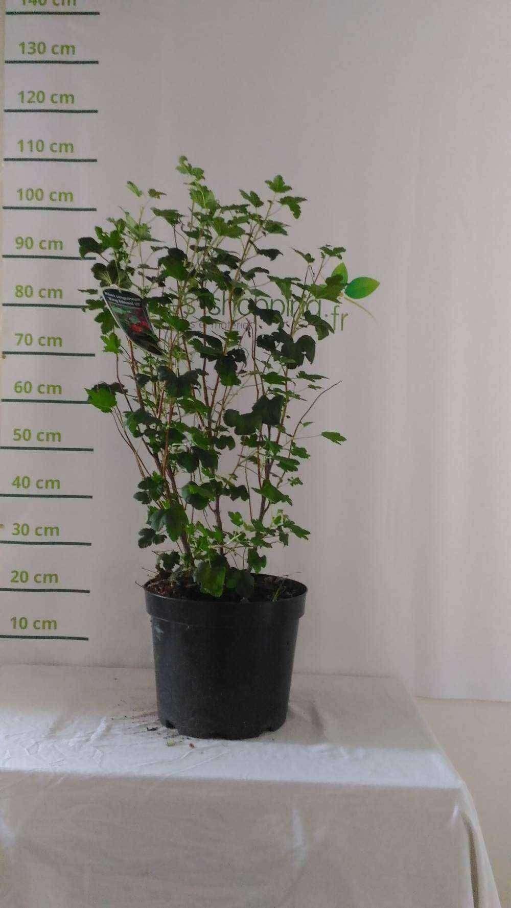 Elaeagnus ebbingei plantes ext rieures for Plantes a commander