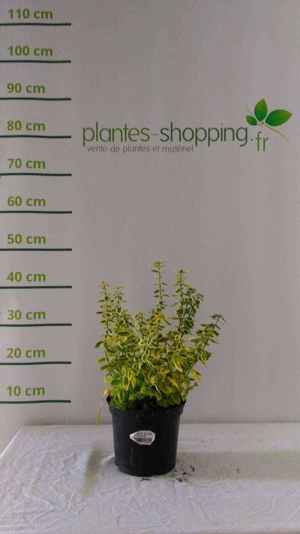 eragrostis spectabilis plantes ext rieures. Black Bedroom Furniture Sets. Home Design Ideas