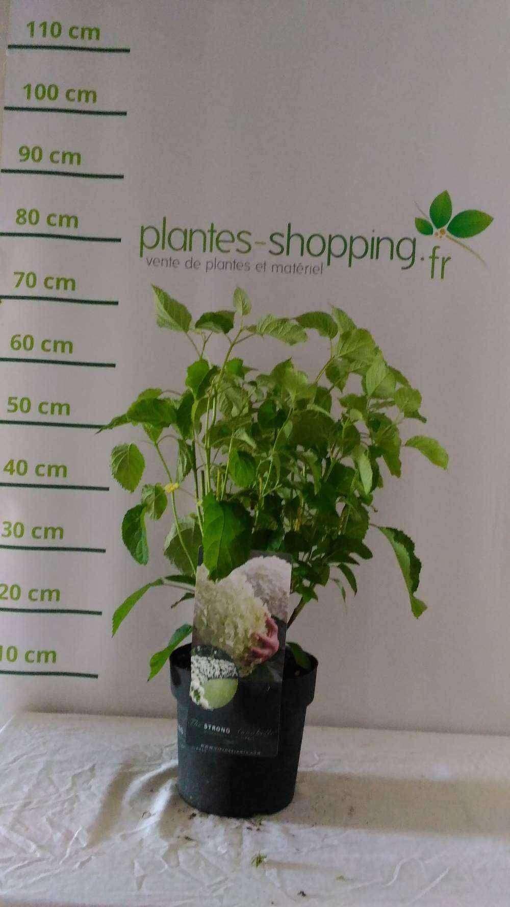 Cornus alba 39 sibirica 39 plantes ext rieures for Plantes a commander
