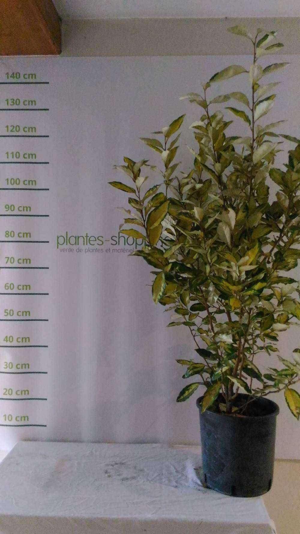 Salix integra 39 hakuro nishiki 39 tige plantes ext rieures for Plantes a commander