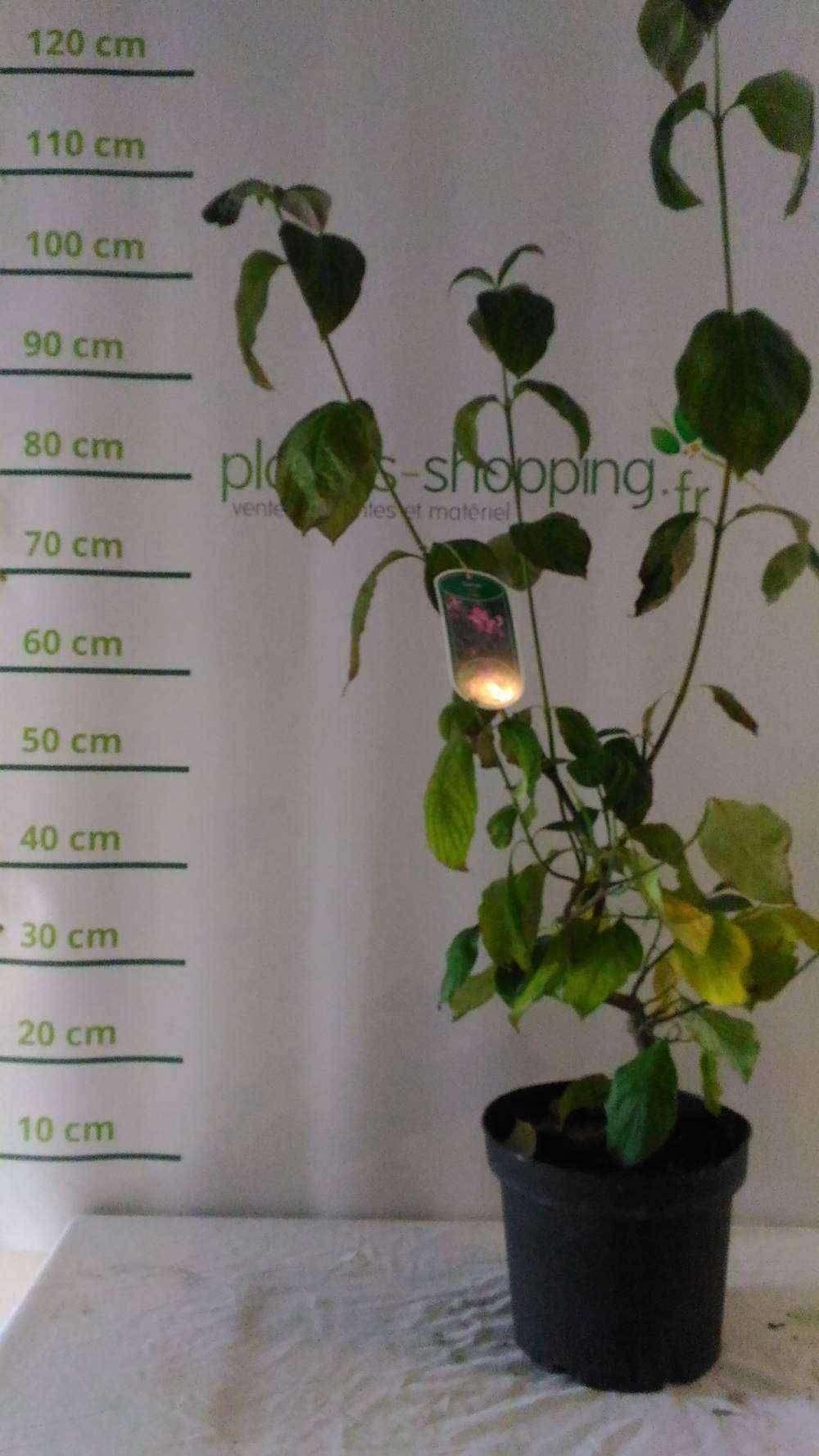 osmanthus burkwoodii plantes ext rieures. Black Bedroom Furniture Sets. Home Design Ideas
