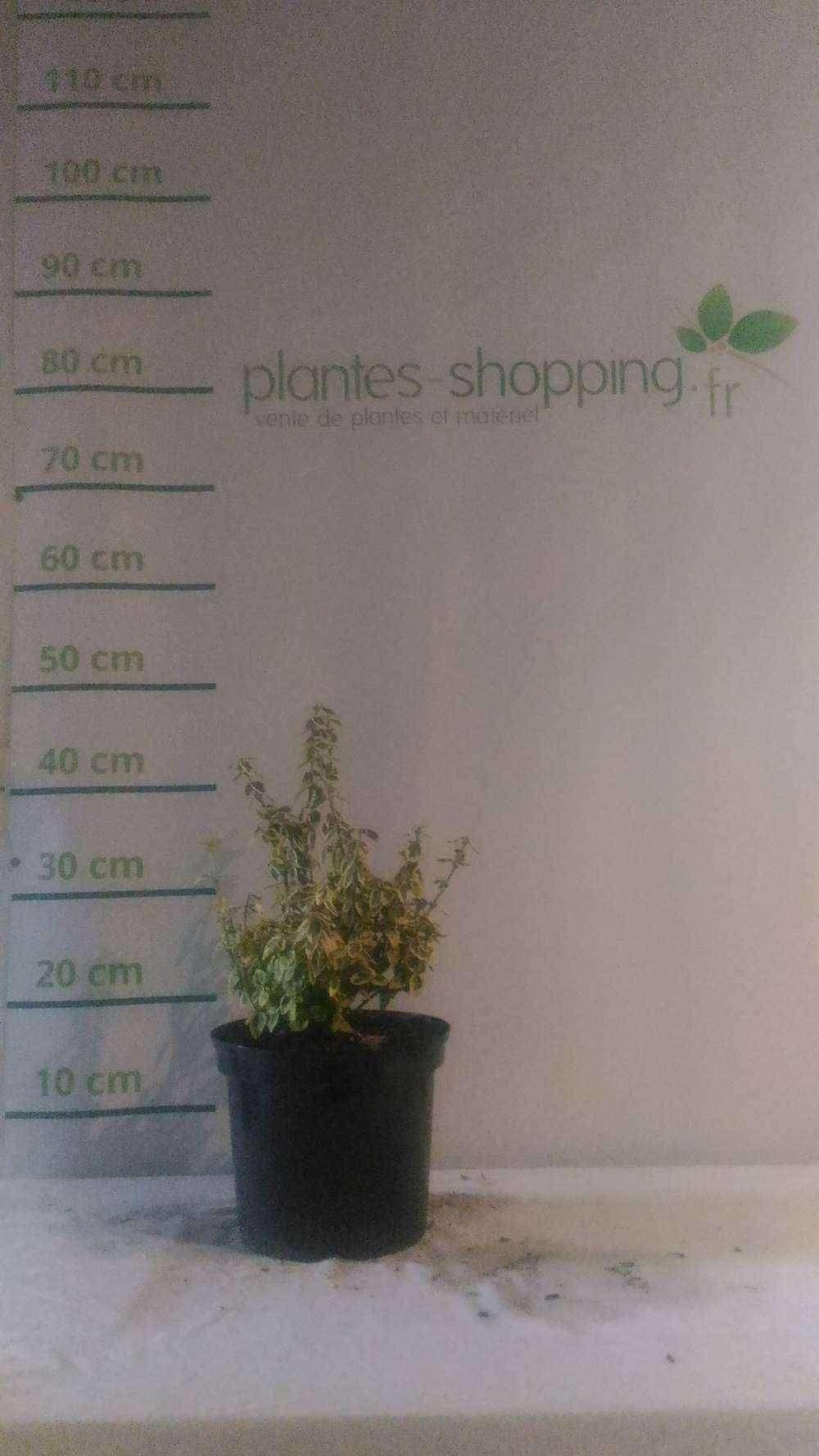 Staphylea colchica plantes ext rieures for Plantes a commander